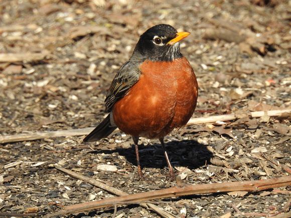 American Robin, Central Park