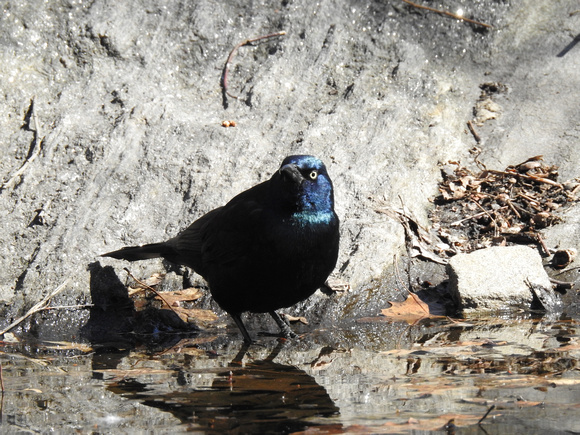 Commpn Grackle, Central Park