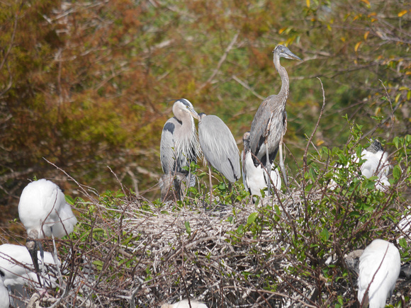 Great Blue Herons and Wood Storks at nest, Wakodahatchee Wetlands, Florida