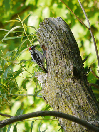 Downy Woodpecker excavating nest hole, Central Park