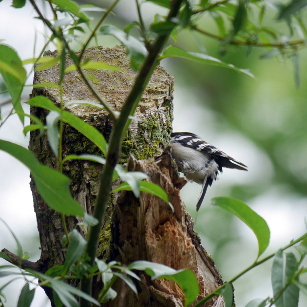 Ed Gaillard: birds &emdash; Downy Woodpecker excavating nest hole, Central Park
