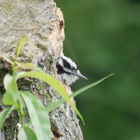 Downy Woodpecker in nest hole, Central Park