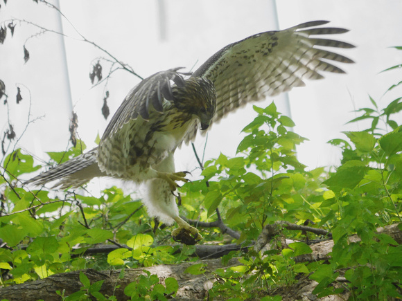 Fedgling Red-Tailed Hawk, Central Park