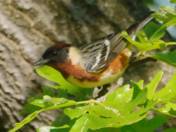 Ed Gaillard: birds &emdash; Bay-Breasted Warbler, Central Park