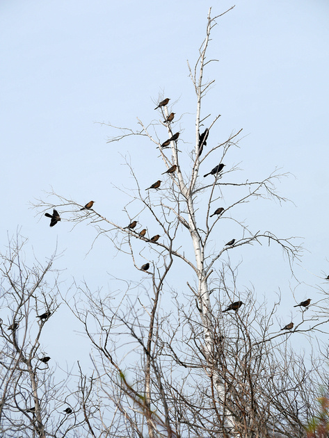 Ed Gaillard: birds &emdash; Boat-Tailed Grackles, Jamaica Bay
