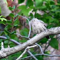 Common Ground Dove, New Providence, Bahamas