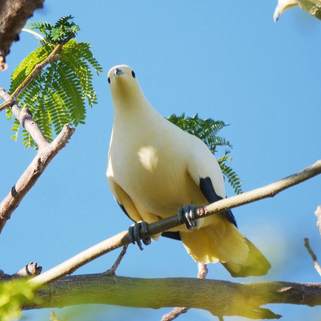 Ed Gaillard: birds &emdash; Pied Imperial-Pigeon, New Providence, Bahamas