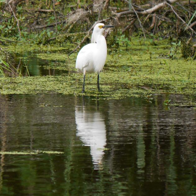 Ed Gaillard: birds &emdash; Snowy Egret, Big John's Pond