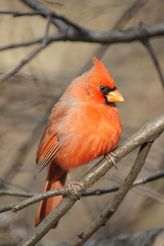 Ed Gaillard: birds &emdash; Cardinal, Central Park