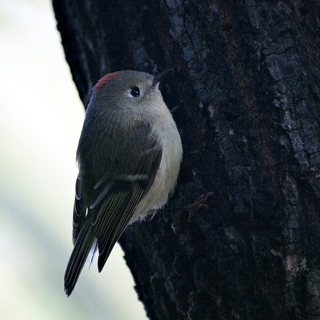 Ed Gaillard: recent &emdash; Ruby-crowned Kinglet, Central Park