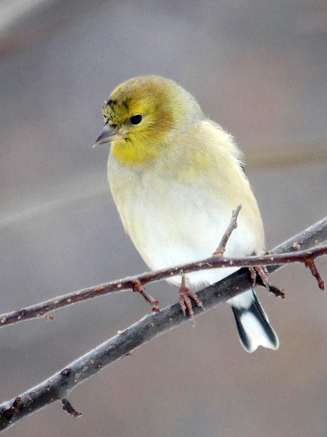 Ed Gaillard: birds &emdash; American Goldfinch, Central Park