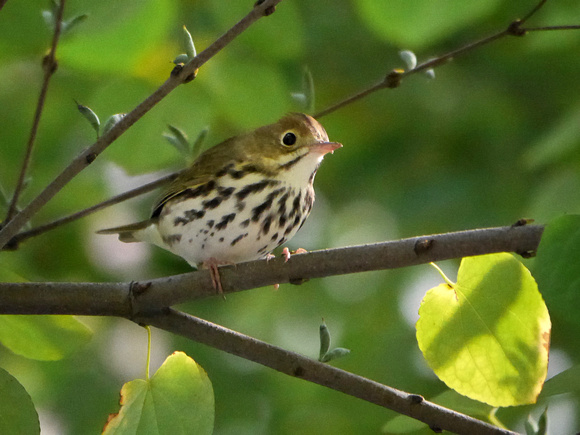 Ed Gaillard: birds &emdash; Ovenbird, International Paper Plaza