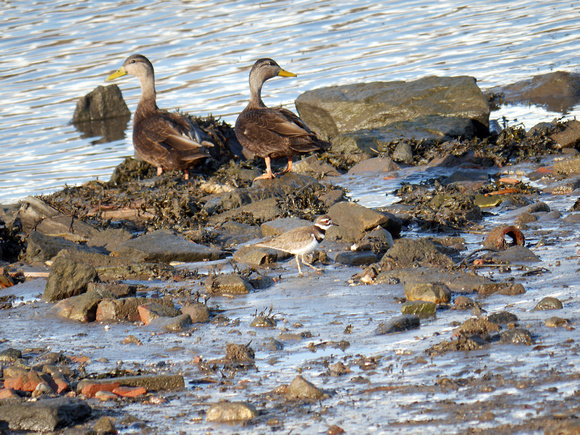 Ed Gaillard: birds &emdash; Killdeer and American Black Ducks, Randall's Island