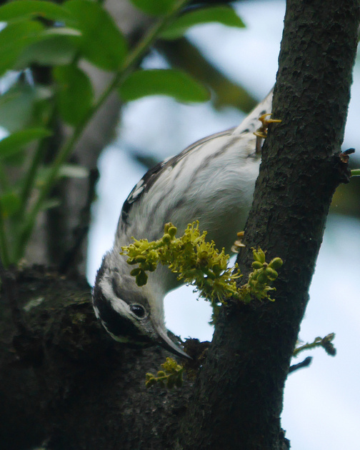 Ed Gaillard: birds &emdash; Black-and-White Warbler, Central Park