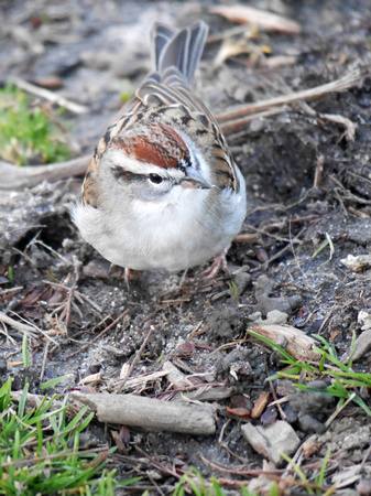 Chipping Sparrow, Central Park