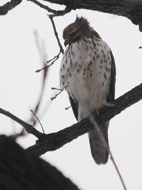 Ed Gaillard: birds &emdash; Buteo, Central Park