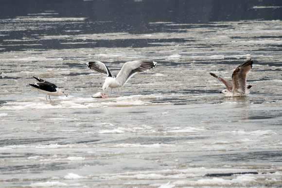 Ed Gaillard: birds &emdash; Great Black-Backed Gulls on the Hudson River ice, at Dyckman Street