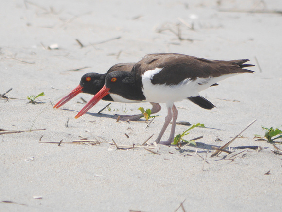 Ed Gaillard: birds &emdash; American Oystercatchers, Fort Tilden, Queens