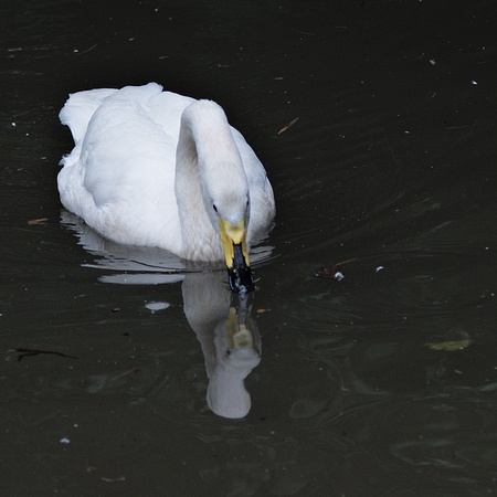 Swan, Central Park Zoo