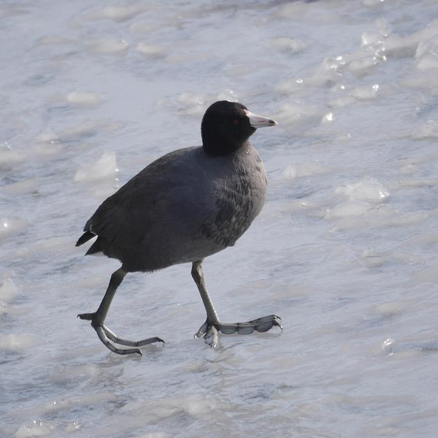 Ed Gaillard: birds &emdash; American Coot, Central Park Reservoir