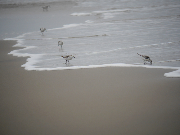 Ed Gaillard: birds &emdash; Sanderlings, Fort Tilden