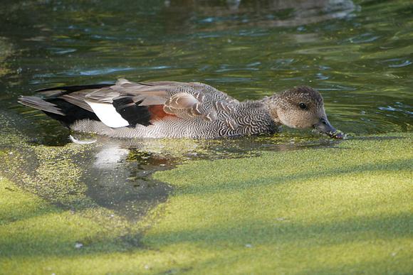 Ed Gaillard: birds &emdash; Gadwall, Turtle Pond