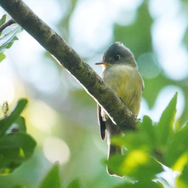Ed Gaillard: birds &emdash; Cuban (crescent-Eyed) Pewee, New Providence, Bahamas