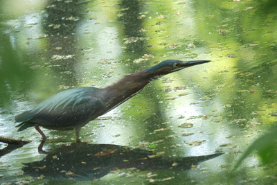 Ed Gaillard: recent &emdash; Green Heron, Azalea Pond, Central Park