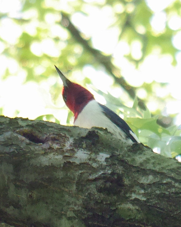 Ed Gaillard: birds &emdash; Red-Headed Woodpecker, Central Park
