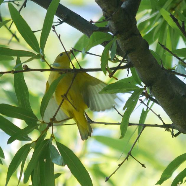 Ed Gaillard: birds &emdash; FOS Yellow Warbler