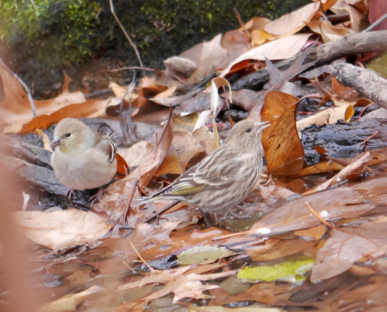 Ed Gaillard: birds &emdash; Pine Siskin (and American Goldfinch)