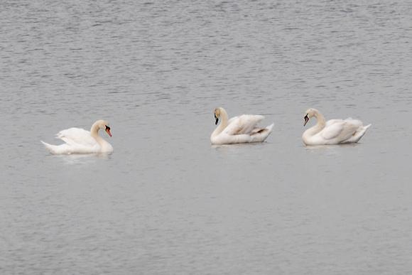 Ed Gaillard: birds &emdash; Mute Swans, Central Park Reservoir