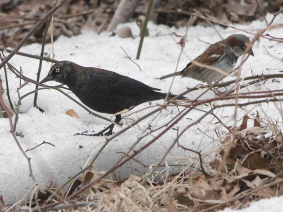 Ed Gaillard: recent &emdash; Rusty Blackbird and friend, Central Park