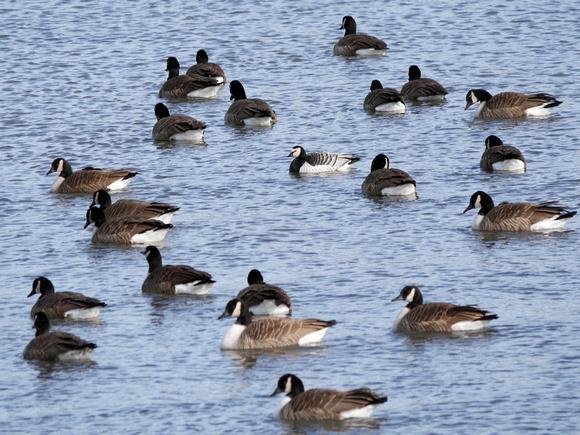 Ed Gaillard: recent &emdash; Barnacle Goose, Randall's Island