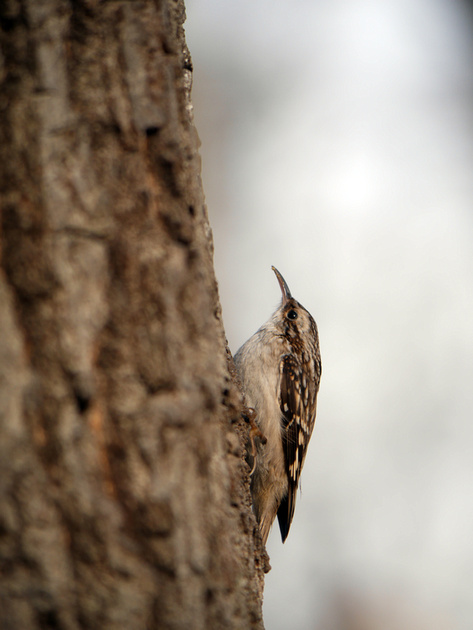 Ed Gaillard: recent &emdash; Brown Creeper, Central Park