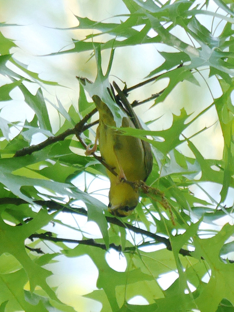Ed Gaillard: birds &emdash; Worm-Eating Warbler, Central Park