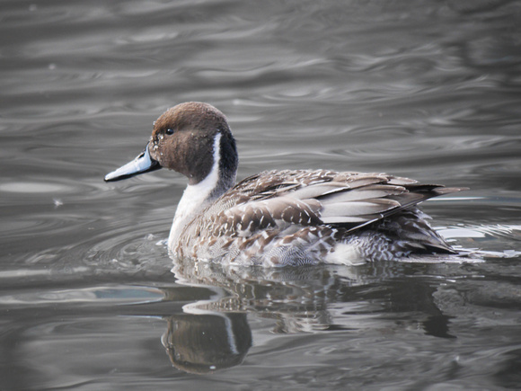 Ed Gaillard: birds &emdash; Northern Pintail, Central Park