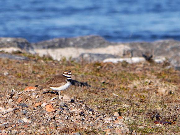 Ed Gaillard: birds &emdash; Killdeer, Randalls Island