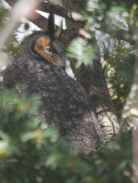 Ed Gaillard: birds &emdash; Long-Eared Owl, Central Park