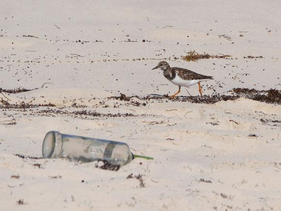 Ed Gaillard: birds &emdash; Ruddy Turnstone, New Providence, Bahamas