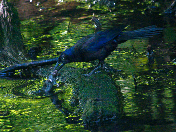 Ed Gaillard: birds &emdash; Grackle killing a mouse