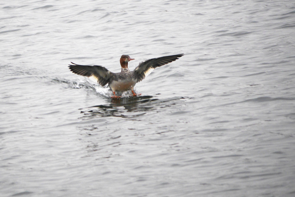 Ed Gaillard: recent &emdash; Common Merganser landing on Central Park Reservoir