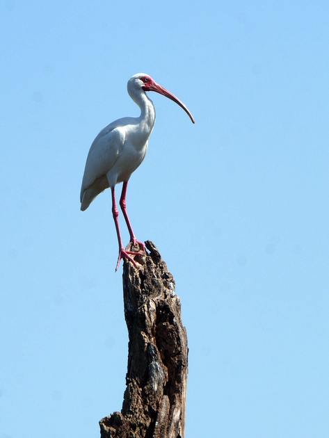 Ed Gaillard: birds &emdash; White Ibis, Green Cay
