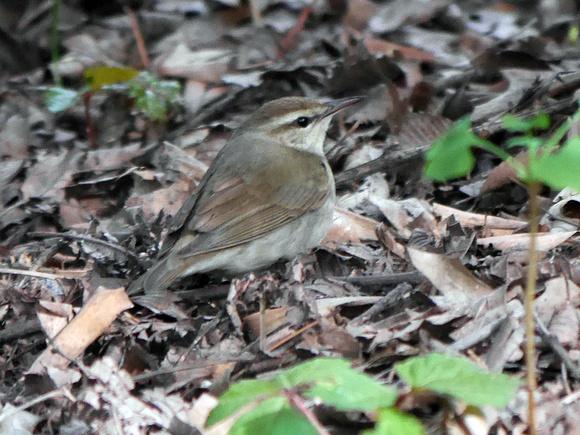 Ed Gaillard: birds &emdash; Swainson's Warbler, Central Park