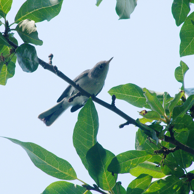 Ed Gaillard: birds &emdash; Blue-Gray Gnatcatcher, Central Park