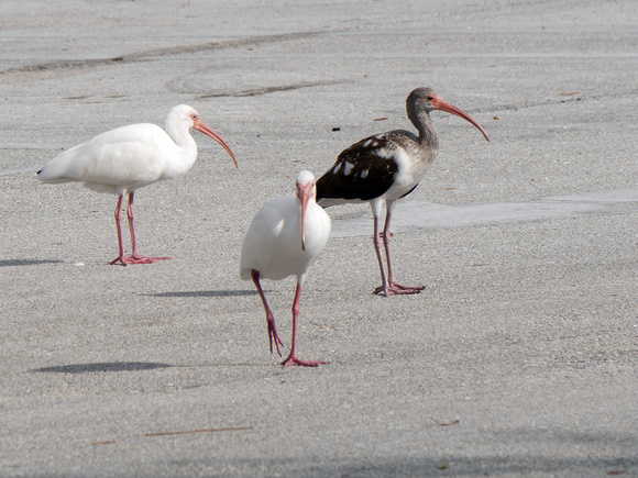 Ed Gaillard: birds &emdash; White Ibises, Boynton Beach Marriott parking lot