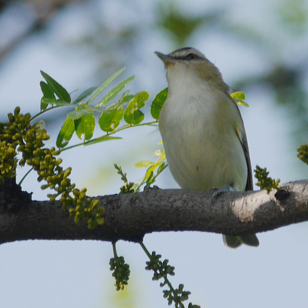 Ed Gaillard: birds &emdash; Red-Eyed Vireo, Central Park