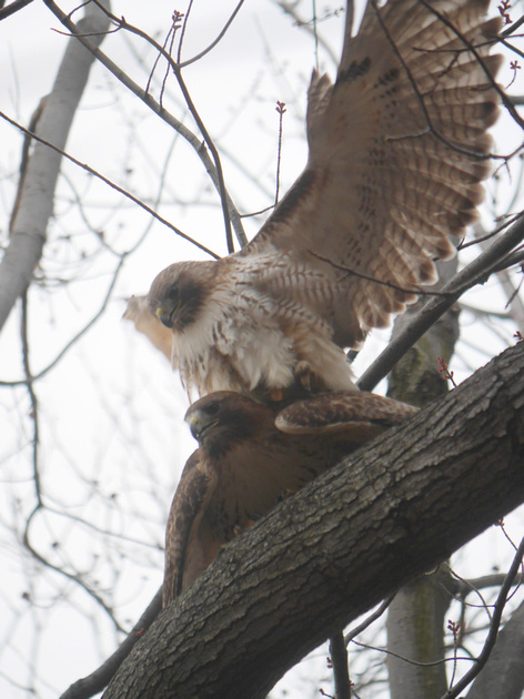 Ed Gaillard: birds &emdash; Red-Tailed Hawks mating, Central Park