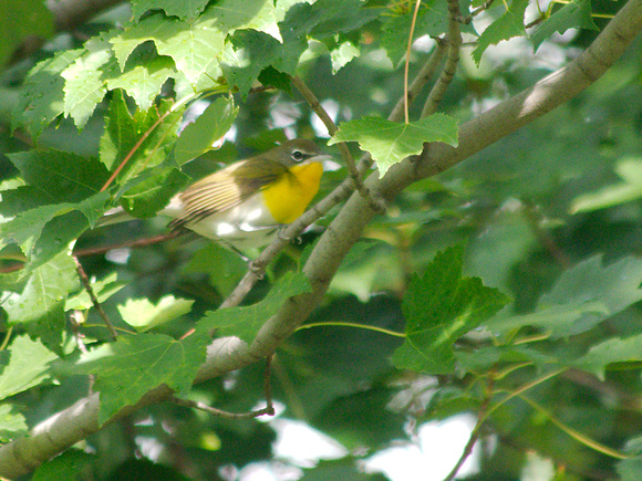Ed Gaillard: birds &emdash; Yellow-Breasted Chat, Central Park