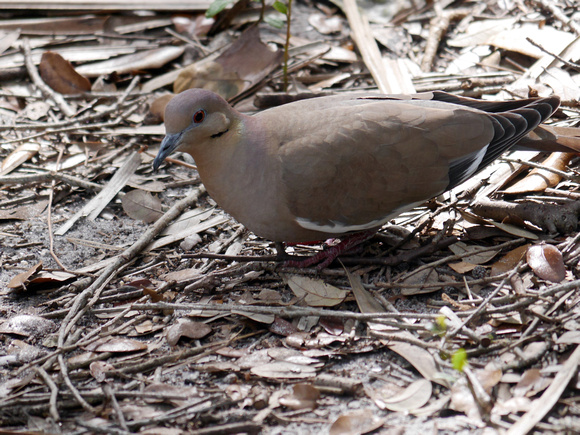 Ed Gaillard: birds &emdash; White-Winged Dove, Green Cay